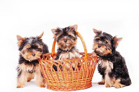 Tre cuccioli di Yorkshire terrier su uno sfondo bianco che giocano in un cestino
