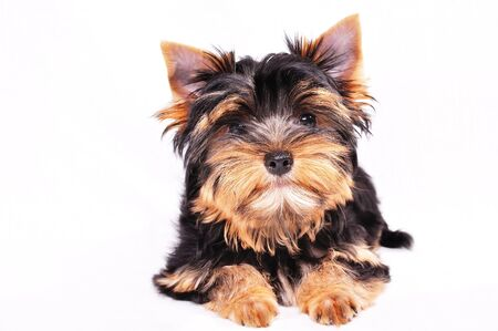 Yorkshire terrier puppy on a white background . He is looking at the camera .