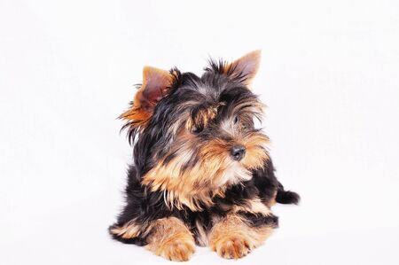 Little Yorkshire terrier puppy on a white background . Looks aside .