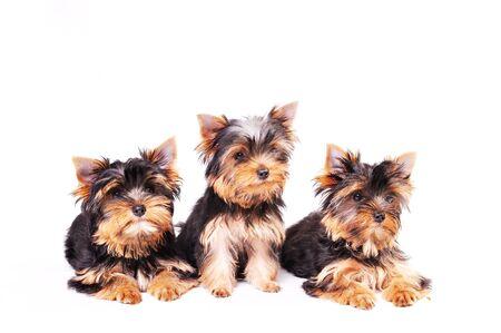 Three Yorkshire terrier puppy sitting on a white background