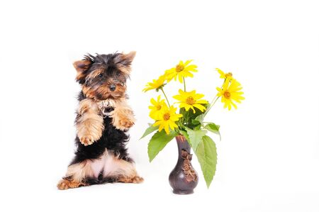 Little Yorkshire terrier puppy sits on hinder legs on a white background next to the flowers.