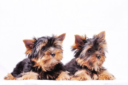 Two puppies of the Yorkshire terrier lie on a white background