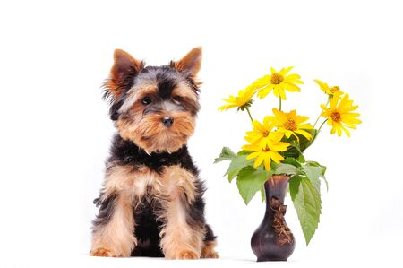 Little Yorkshire terrier puppy on a white background next to the flowers. 版權商用圖片