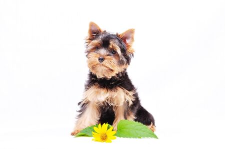 Little Yorkshire terrier puppy on a white background next to the flowers.