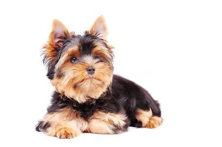 Little Yorkshire terrier puppy on a white background 版權商用圖片