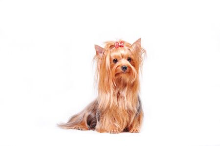 Beautiful adult female Yorkshire terrier with a bow on her head on a white background 版權商用圖片