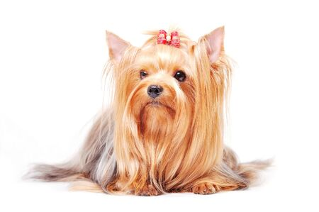 Beautiful adult female Yorkshire terrier with a bow on her head on a white background Stock Photo