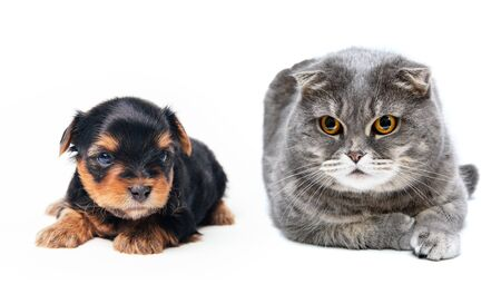 Gray cute domestic cat and pretty puppy lies isolated on a white background, photo in studio