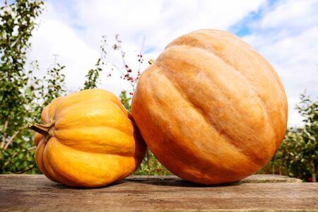 Autumn harvest. Pumpkins on the background of the garden 版權商用圖片