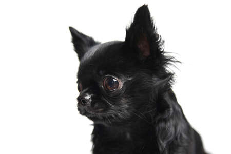 Studio shot puppy portrait chihuahua isolated on white background