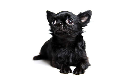 Little black puppy chihuahua isolated on white background