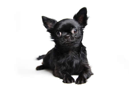 Studio shot puppy chihuahua isolated on white background
