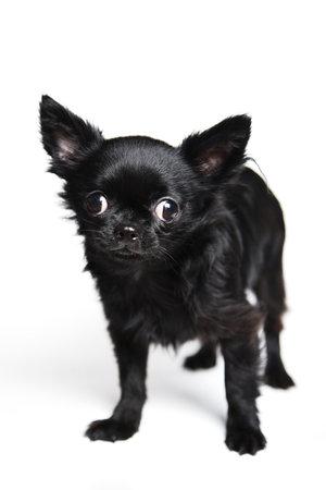 Little black dog chihuahua on white background Фото со стока