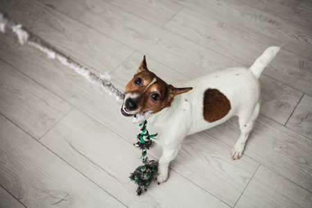 Small dog Jack Russel terrier white and brown playing with colorful rope toy at home.