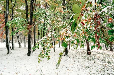 soft hail: Autumn trees under snow. Stock Photo