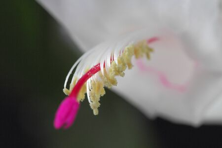 Schlumbergera or Christmas cactus or Thanksgiving cactus white on a black background, close-up, place for text.