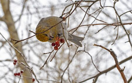 Close-up wild bird eats small apples on a tree in winter. Banco de Imagens