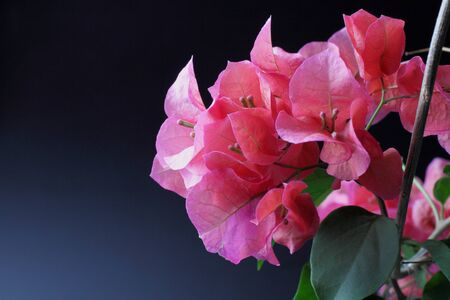 Bougainvillea flowers on a black background close-up, place for text or congratulations, copy space.