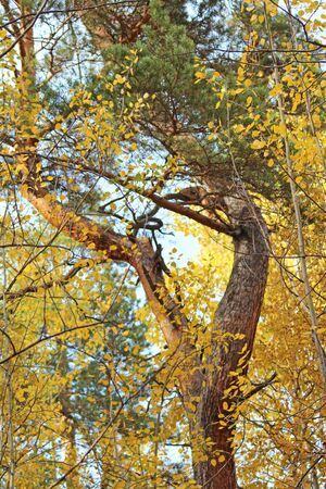 Wild old tree of fanciful shape, bright autumn colors, close-up, vertical frame.