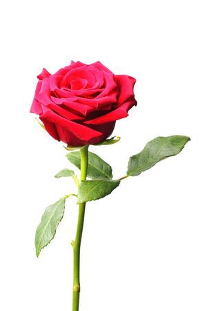 Red rose on a white background, close-up, isolate.