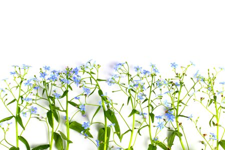 Scorpion grasses or Myosotis closeup on a white background, blue flowers with greenery, isolate. Flowers composition. Spring or summer concept. Flat lay, top view, copy space. Stock Photo