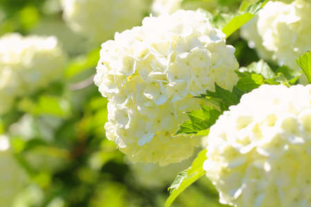 Large white balls of flowers with bright greenery, bright sunny summer day. Heat and warm summer concept Stock fotó
