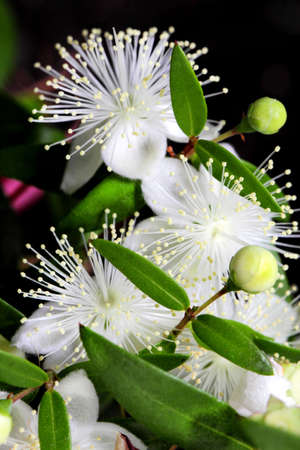 Flowers of myrtle or Myrtus communis close-up on a dark background. Vertical frame for mobile phone background Stock Photo