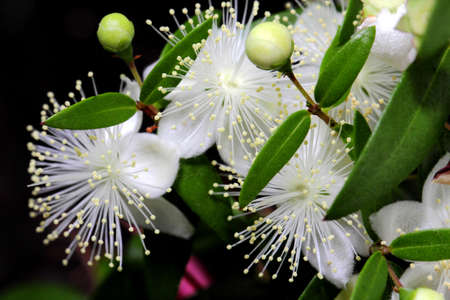 Macro photo flowers of myrtle or Myrtus communis close-up on a dark background.