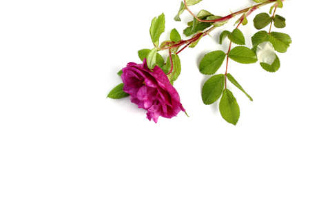 Rose branch with bud, leaves and thorns on a white background close-up, isolate. The concept of romantic mood. Top view, flat lay, place for text, copy space. Imagens