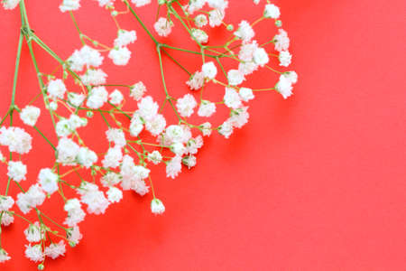 Flowers composition. Spring concept. Gypsophila flowers on bright red background. Flat lay, top view, copy space.