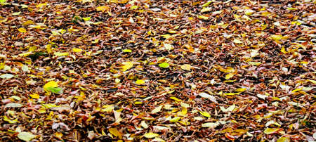 Fallen autumn leaves as a background, wide view.