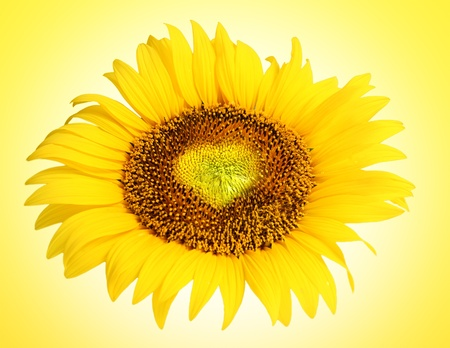 Sunflower with heart shape. Shallow depth of field photo