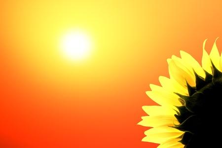 Sunflower on background sunrise photo