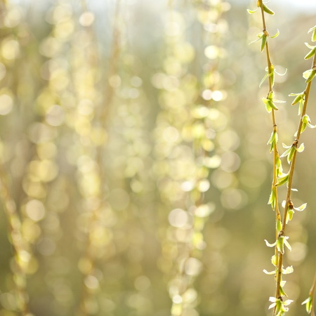 Willow agains nature background photo