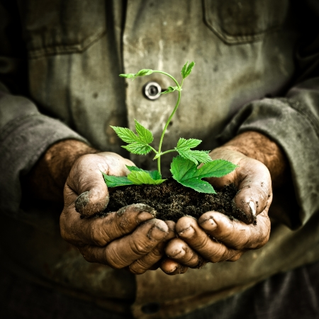 dirty man: Old man hands holding a green young plant. Symbol of spring and ecology concept