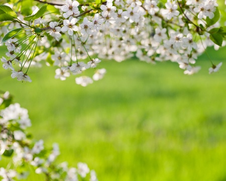 Spring cherry tree blossoms on a green natural background photo