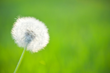 Spring dandelion on green natural background photo