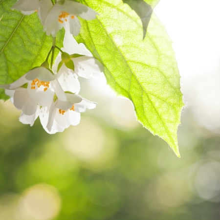 Jasmine flower against green natural spring background photo