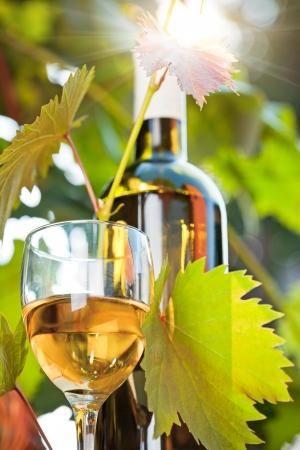 white wine bottle: Botella de vino blanco, vid joven y vidrio contra el fondo del vi�edo