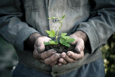 manos sucias: Manos ancianos hombre que sostiene una planta joven de color verde. Símbolo de la primavera y el concepto de la ecología Foto de archivo