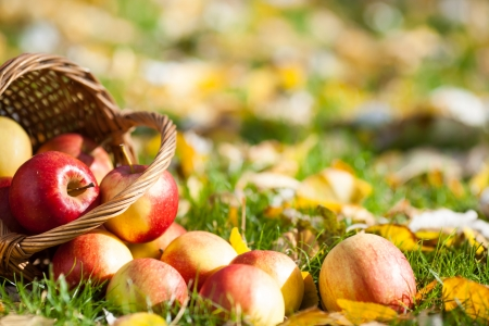 apples basket: Red juicy apples scattered on yellow leaves in autumn
