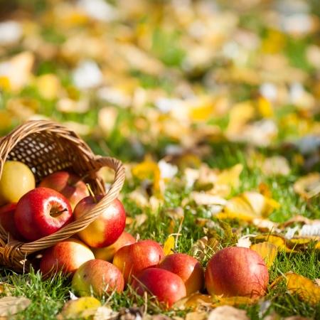 秋の庭で草の中に散在して赤ジューシーなりんごがいっぱい入ったかご