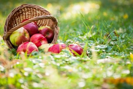 Cesta de manzanas esparcidas en el césped en el jardín de otoño Foto de archivo