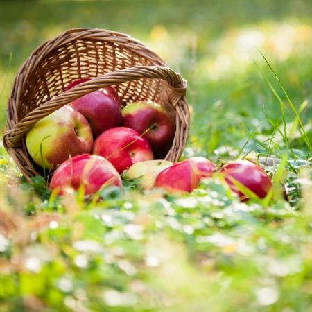 canastas de frutas: Cesta llena de manzanas frescas jugosas dispersos en un concepto de la hierba de la cosecha de oto�o