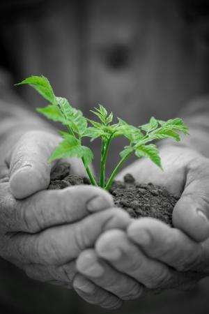 albero della vita: Vecchie mani uomo che tiene giovane albero verde contro grunge background. Concetto di ecologia Archivio Fotografico