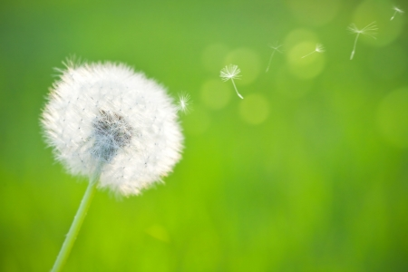 Spring dandelion on green natural background photo