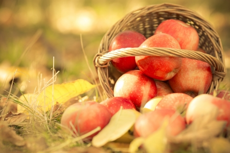 Basket full of red juicy apples scattered in a grass in autumn garden photo