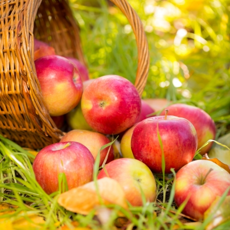 Red apples in autumn outdoors. Thanksgiving holiday concept photo