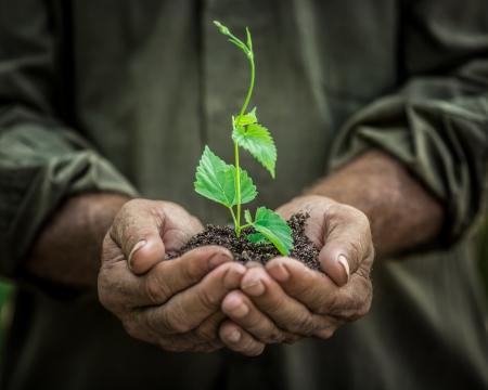 manos: Hombre mayor que sostiene la planta joven de primavera en las manos. Ecología concepto