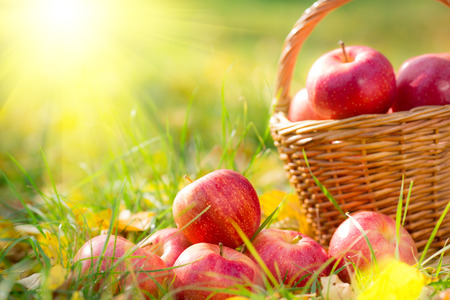 Autumn fruits outdoors. Basket of red apples. Thanksgiving holiday concept photo